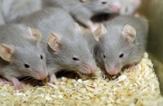 Mice Study shows DES Granddaughters' may have increased Rates of Cancer