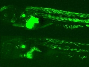 How Endocrine-disrupting Pollutants damage the Body... Glowing Fish reveal Secrets of Pollution