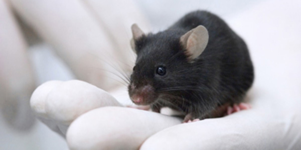 cropped-Black-Lab-mouse-sma