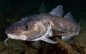 Pacific cod fish protein should be a promising for Cod fish protein