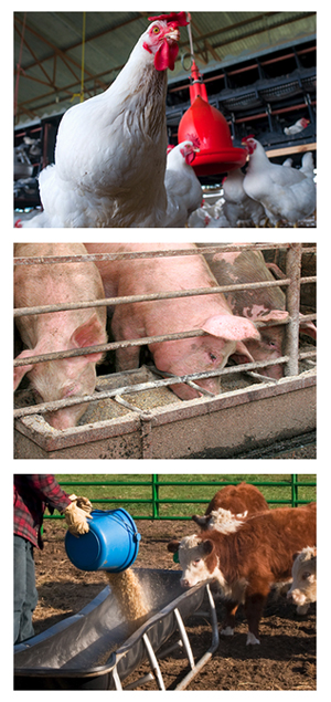 image of American livestock