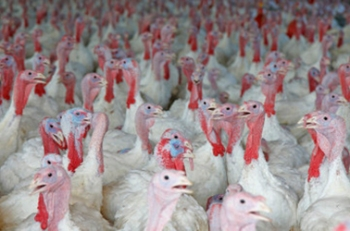 FACTORY FARM TURKEYS