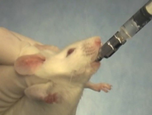 image of Oral Gavage in Mice