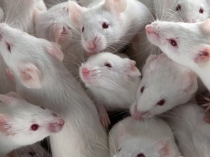 image of lab mice