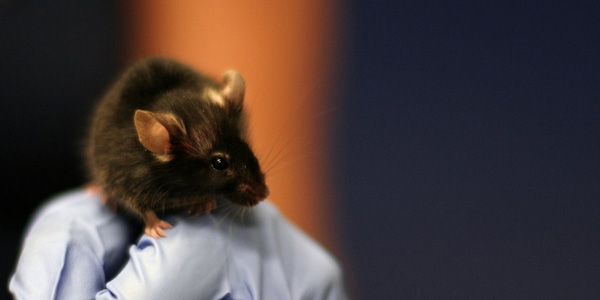 lab-mouse image