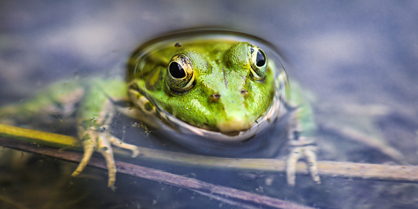 green-frog image