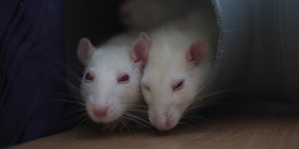 lab-rats image