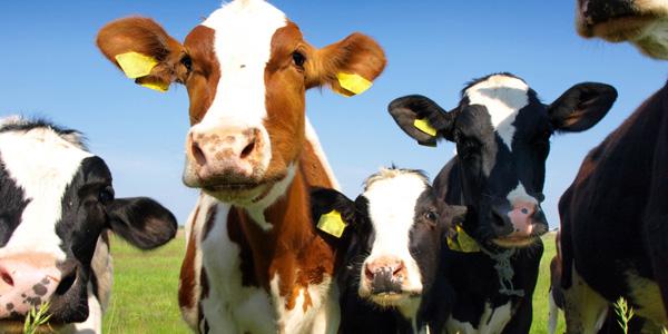 bovine image