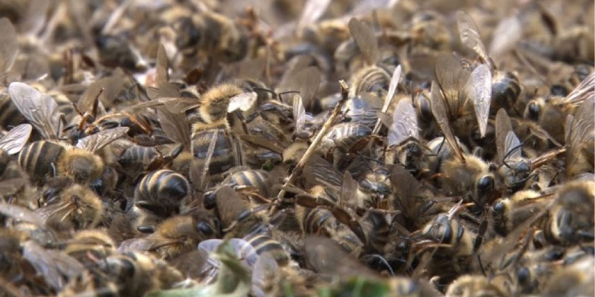 Honeybee-Poisoning image