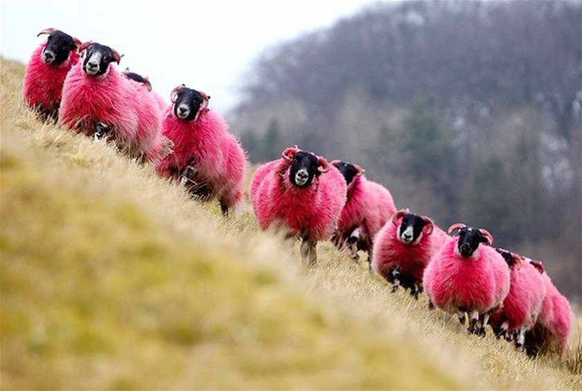 Pink October : Sheep or Not?