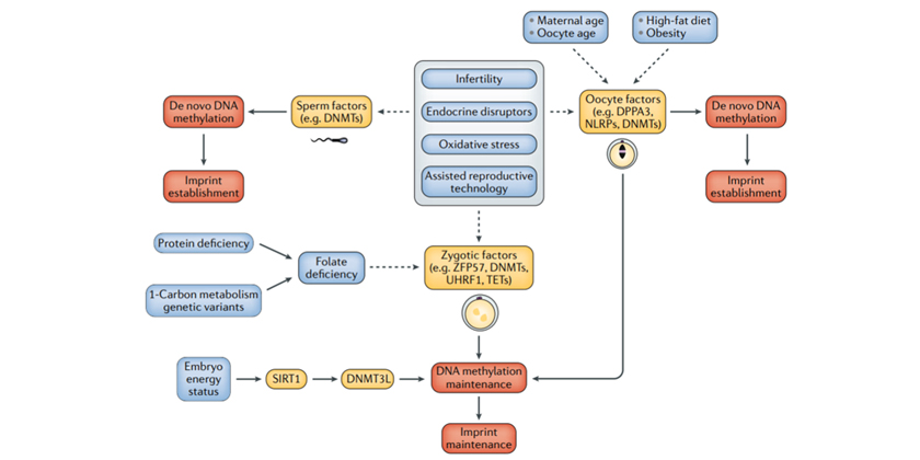 Genomic imprinting disorders