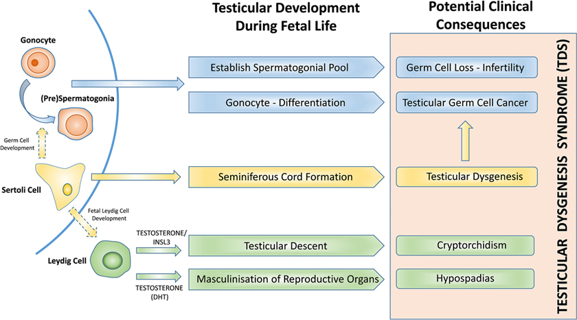 Effect of environmental and pharmaceutical exposures on fetal testis development and function