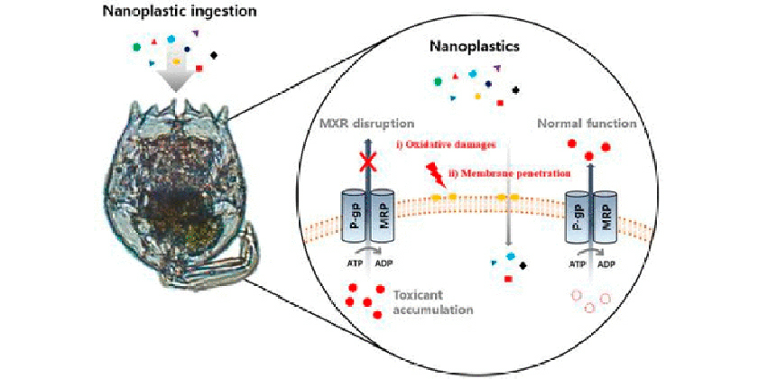 Nanoplastics damage marine creatures' natural defences, increasing lethal effects of POPs